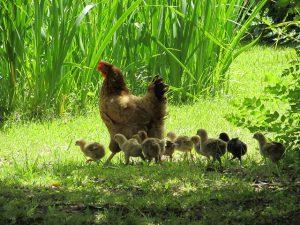 Gallina y pollitos sueltos