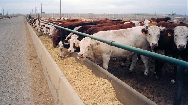 Vaca en feedlot