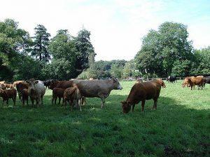 Vacas pastando 1