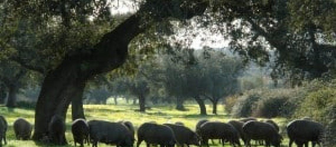 Iberqus-Cerdos-en-la-Dehesa-300x200
