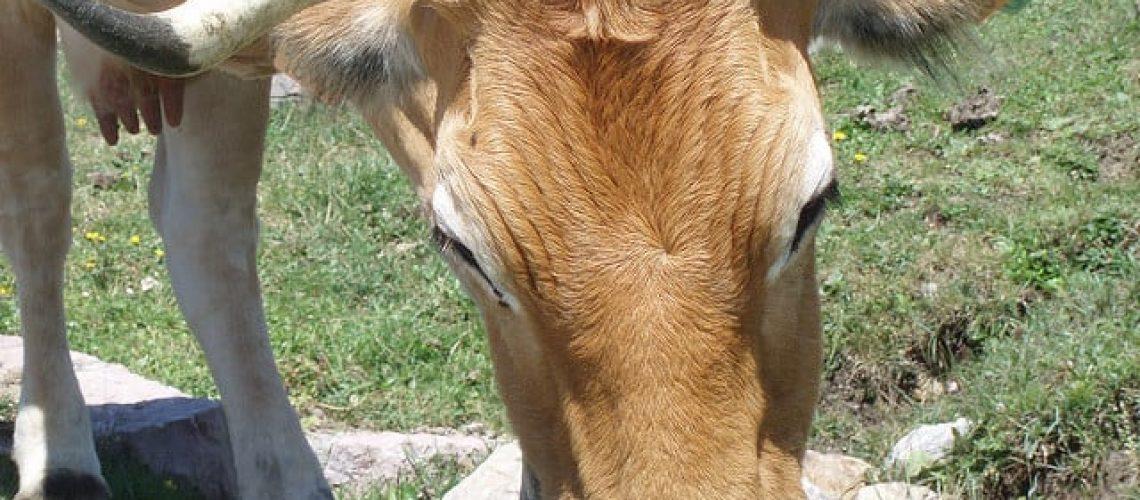 Vaca pastando de cerca