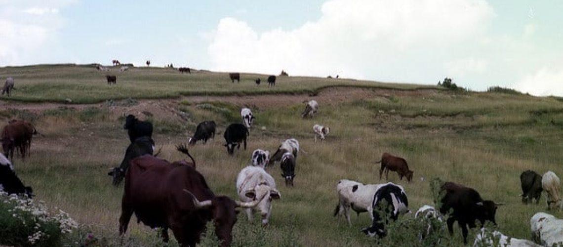 Vacas pastando 2